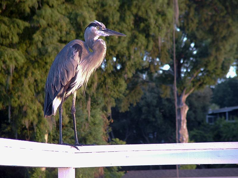 Tim Kovar, Great Blue Heron