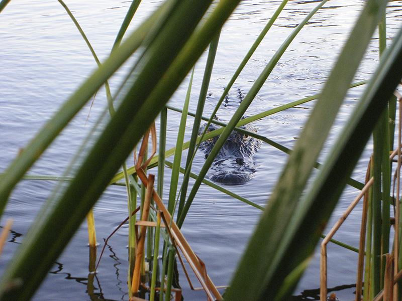 Tim Kovar, Blue Alligator
